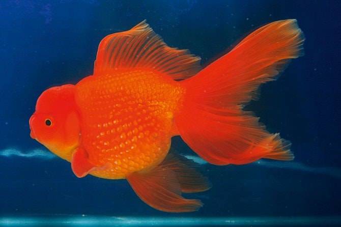 What Water Temperature Do Goldfish Need Practical