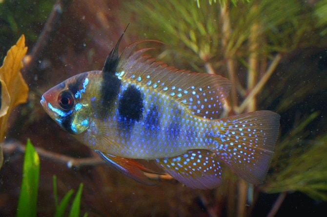 How To Breed The Ram Mikrogeophagus Ramirezi Practical Fishkeeping