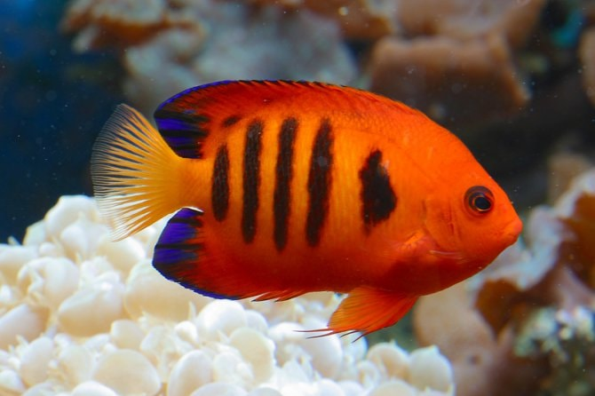 Frequently Asked Questions On Dwarf Angels Practical Fishkeeping