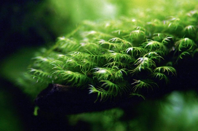 Five Of The Best Aquarium Mosses Practical Fishkeeping