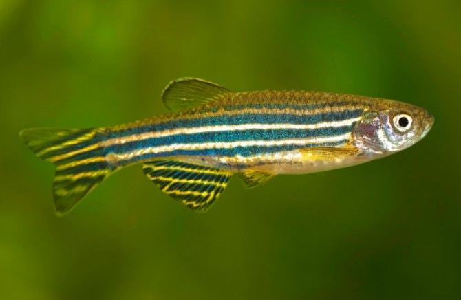 Image result for zebra danio fish