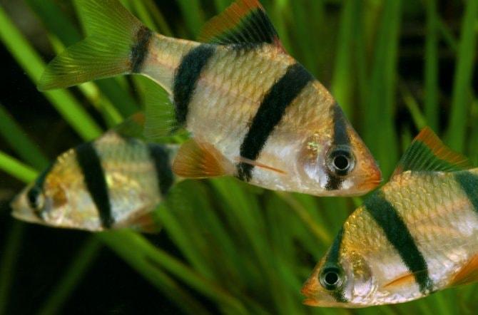 Bring on the barbs - Practical Fishkeeping