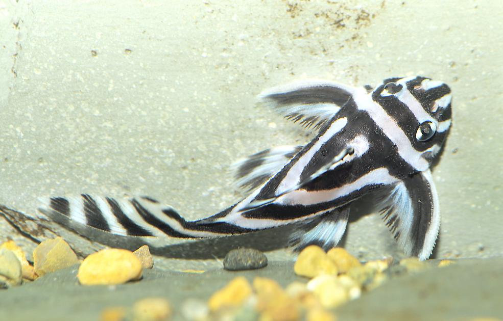 9 Of The Most Desirable Plecs For The Aquarium Practical