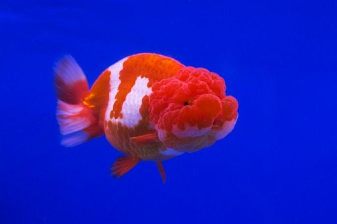 Fancy goldfish bonanza at Star Fisheries - Practical Fishkeeping