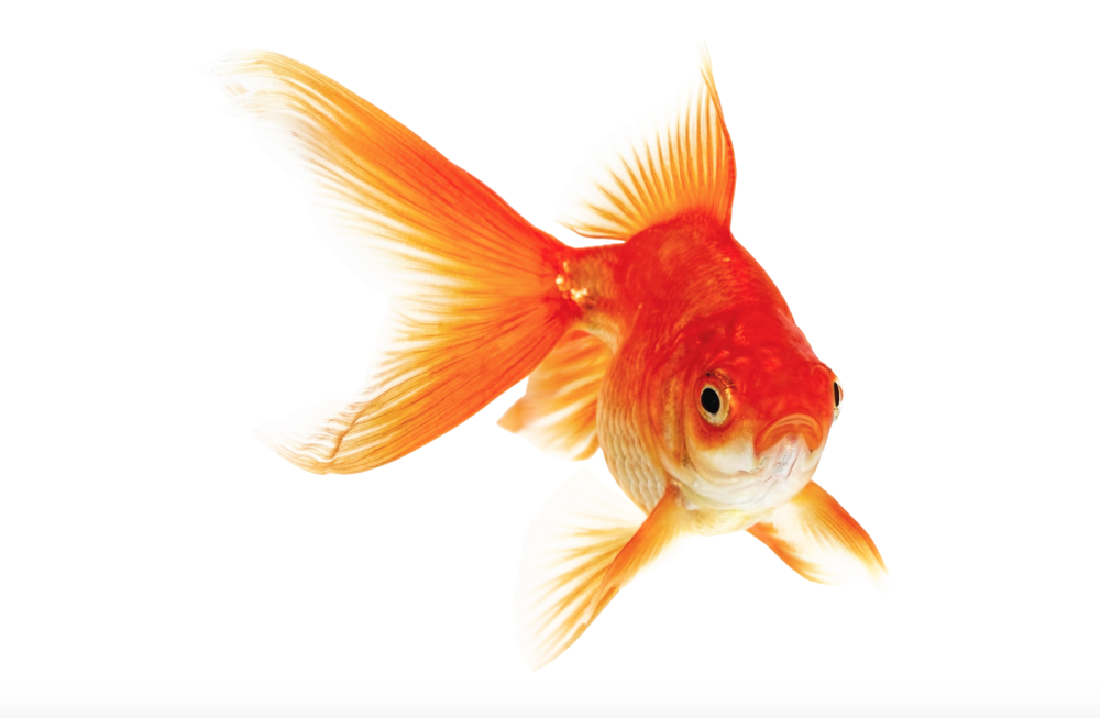 How to say goldfish in spanish