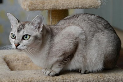 Asian Cat Breed Information And Advice Your Cat