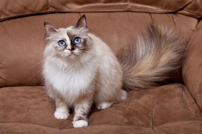 Birman Cat Breed Information And Advice Your Cat