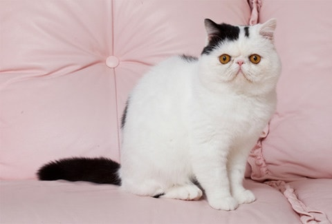Exotic Shorthair Cat breed information and advice - Your Cat