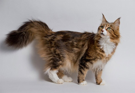 Being One Of The Largest Breeds Of Cat The Maine Coon Cat