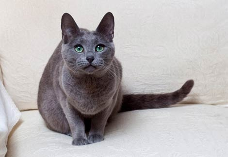 Russian Blue Cat Breed Information Your Cat