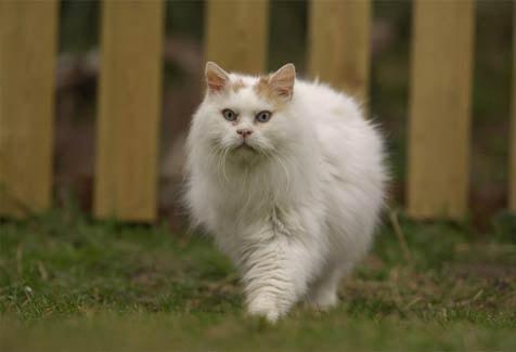 755f300d9d Turkish Van Cat breed information Breed Profile