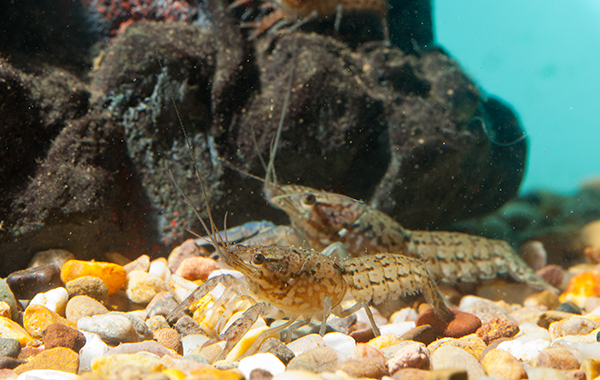 Illegal crayfish on the rise in the UK