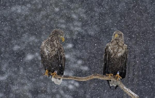800px-White-tailed_eagle_LGphoto-57649.jpg
