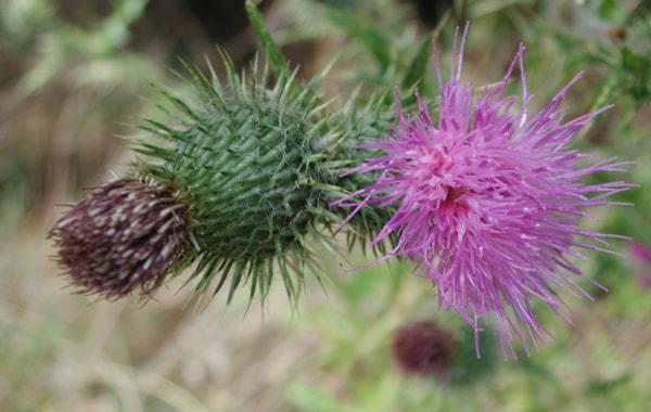 Thistle_flower.tiff-44536.jpg