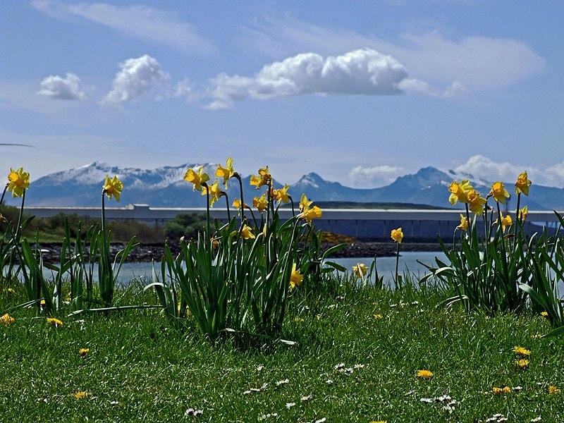 arran-with-daffodils-90478.jpg