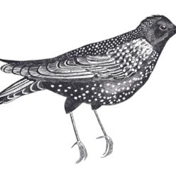 starling6