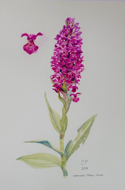 Northern Marsh Orchid, Portrack Marsh