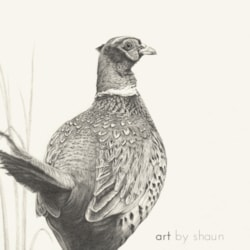 A Pheasant Life