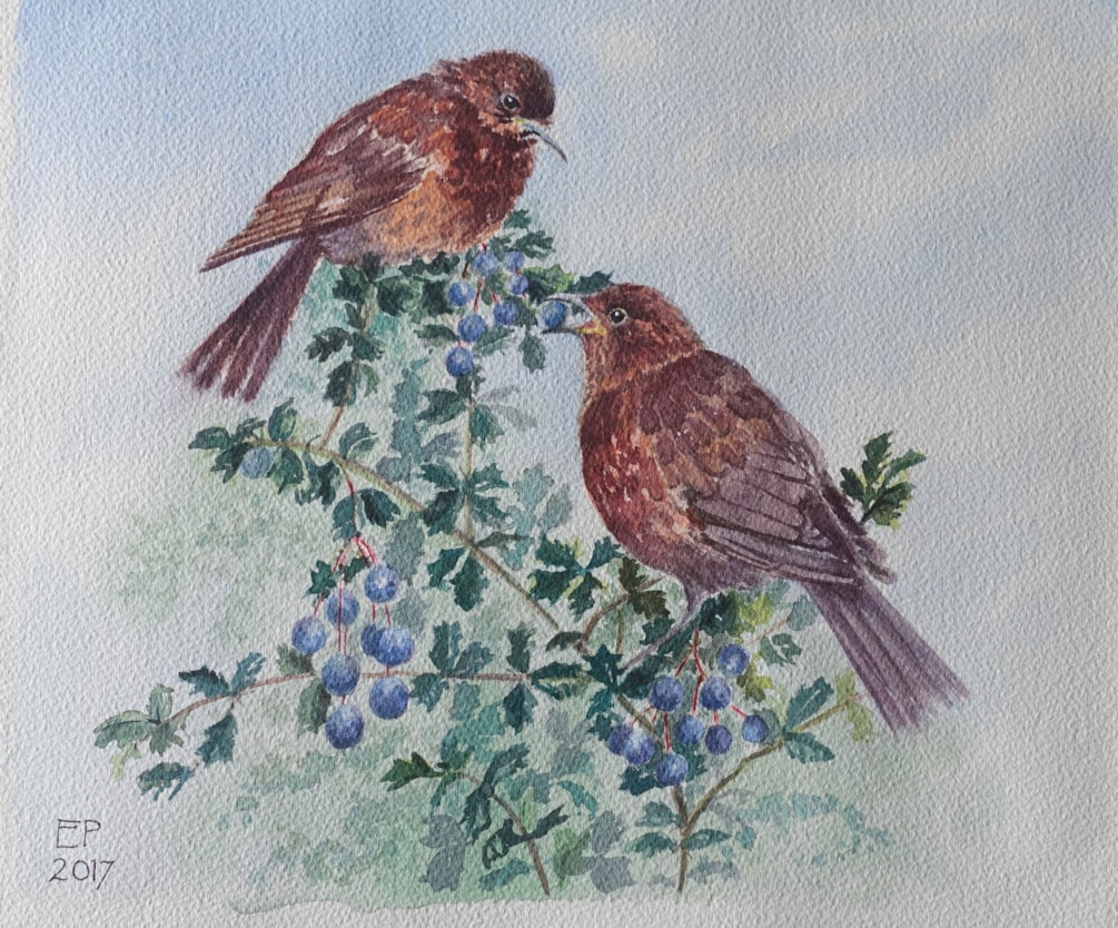 "Baby blackbirds on the berberis 9"" x 11"" watercolour"
