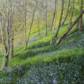 Bluebells in the Forest Dean