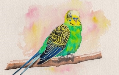A rather fat budgie!
