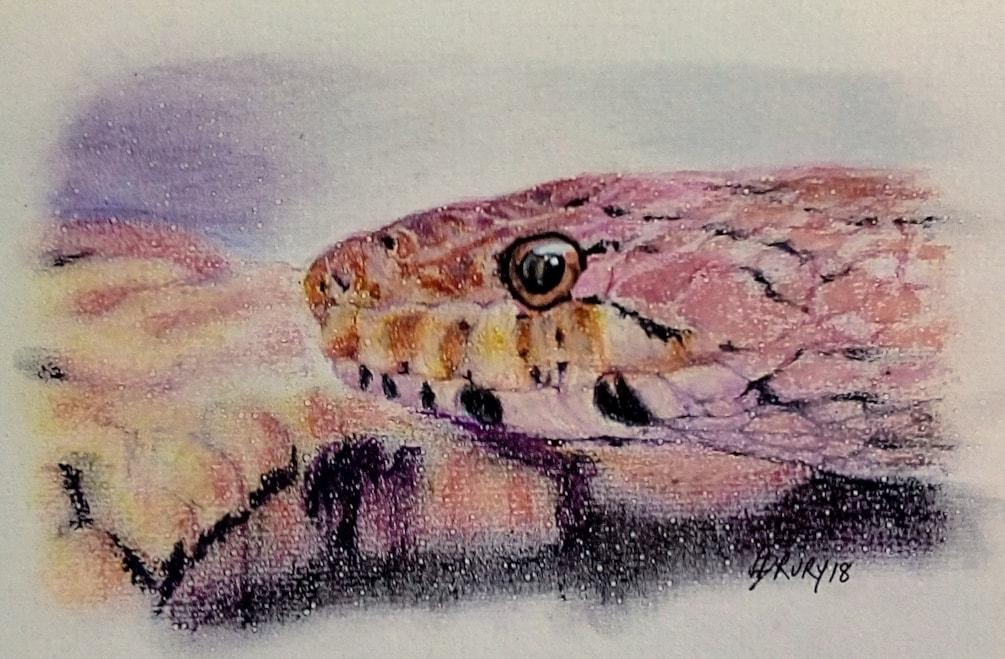 A corn snake called Kellogg
