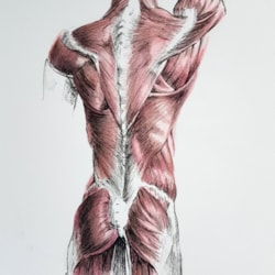 Musculature of the back