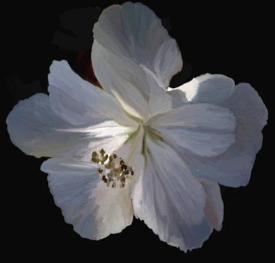 Double Hibiscus (White)