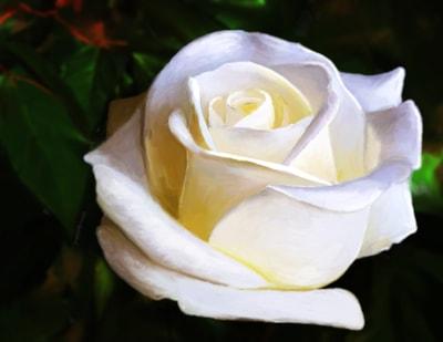 Lilac Creme Rose