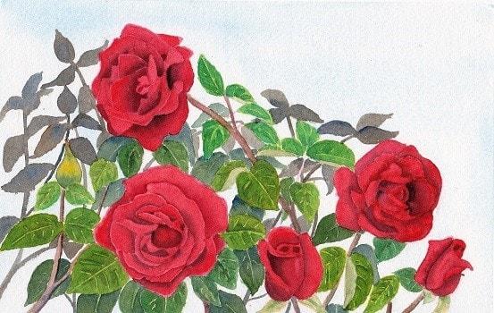My favourite rose bush.