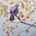 Wood pigeon in maple tree