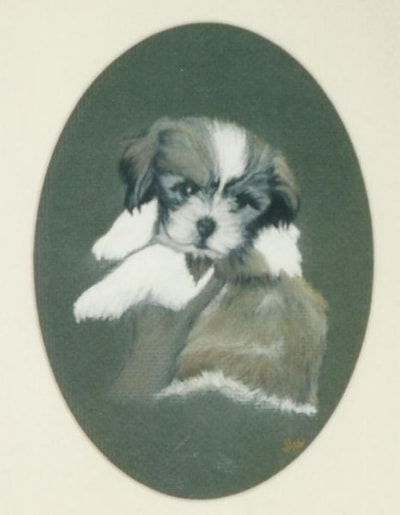 Tootsie.Shitzu cross puppy.