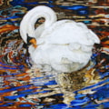 Swan in reflection of autumn coloured water
