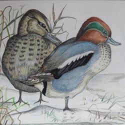 Plump Ducks