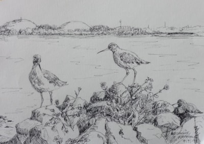 Redshank by the Tees at Portrack Marsh