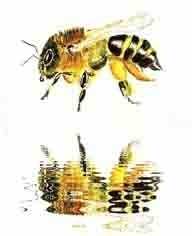 Painted bee reflection