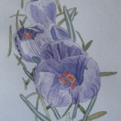 Crocus sketch