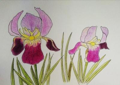 Sylvia's Iris