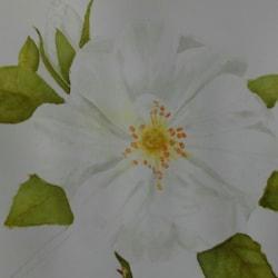 White Carpet Rose
