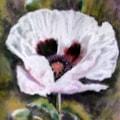 Jeannette's Poppy
