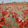 Sunshine and Poppy field, Bewdley
