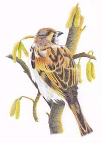 Sparrow Amongst the Catkins