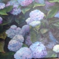 Hydrangea in full swing