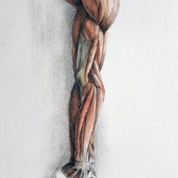 Musculature of the arm