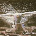 Swan on black lake