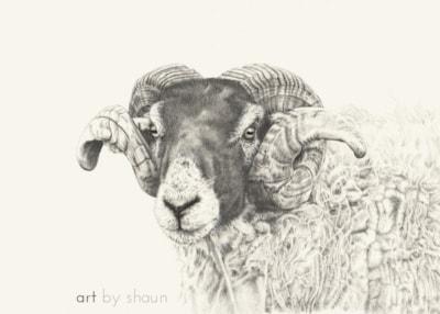 T' Yorkshire Ram