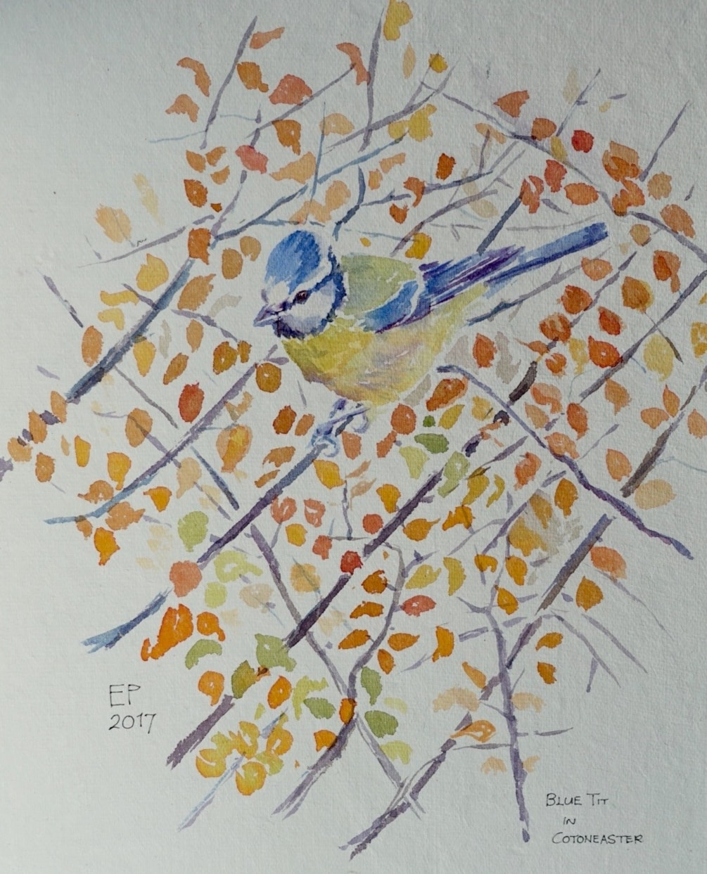 Blue tit in cotoneaster
