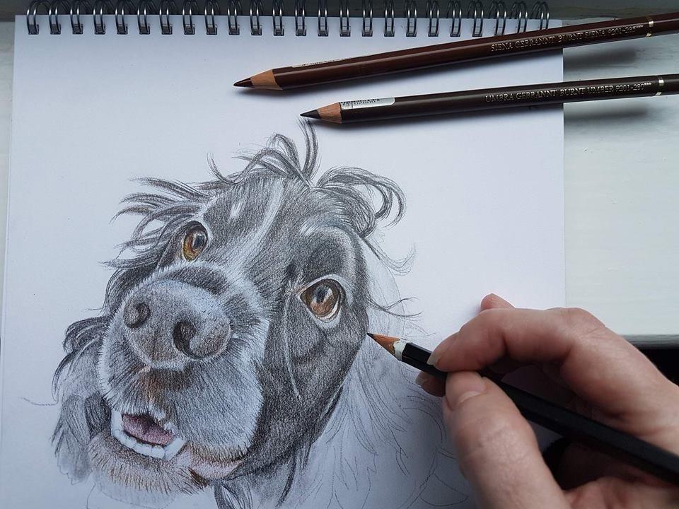 Benji - current portrait in progress - colour pencil 2017