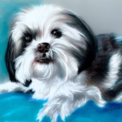 Belle the Shih Tzu