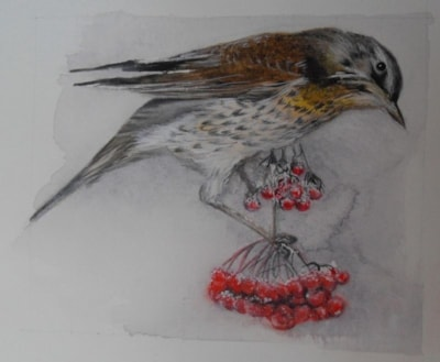 Redwing on berries
